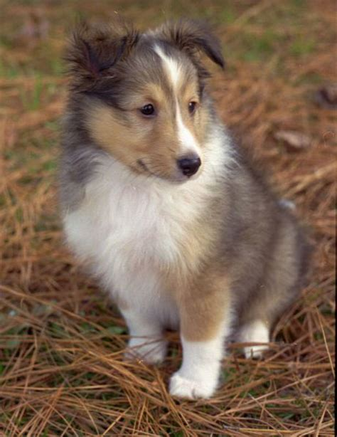sheepdog puppy shetland sheepdog sheltie info puppies pictures temperament