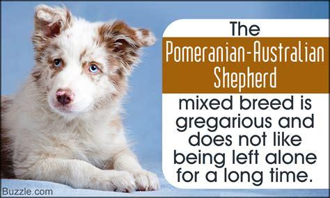 pomeranian aussie mix complete information about pomeranian australian shepherd mix