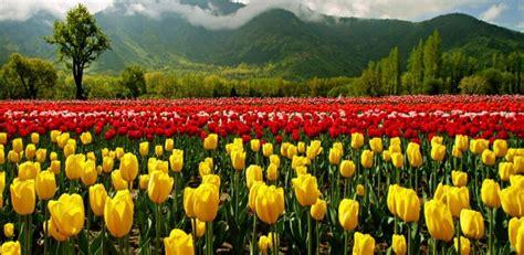 Bibit Bunga Of The Valley join the tulip festival of kashmir valley srinagar