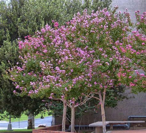 Growing Lagerstroemia Indica Crepe Myrtle