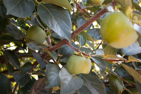 fruit tree care fruit tree care for healthy tasty edible gardens