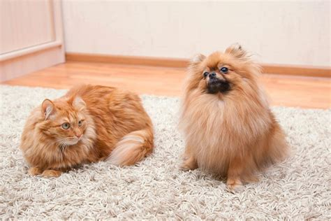 pomeranian fleas note worthy tips for using salt to kill fleas in your home