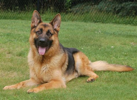 how to a guard german shepherd trained german shepherd protection dogs for sale cc protection dogscc protection dogs