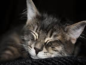 Wallpapers katze katzen tiere hintergrund hintergrundbilder kostenlos