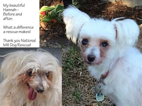 colorado puppy mill rescue 17 best images about rescue before after on before and after