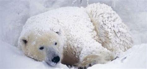oso polar oso polar 080506902x un oso polar se resfr 237 a en el zool 243 gico de chicago debido a las bajas temperaturas