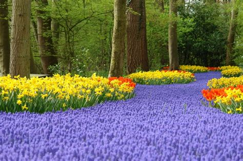 Amsterdam Flower Garden Seeing The Tulips Of Amsterdam At Keukenhof Gardens The Travel By Laterooms