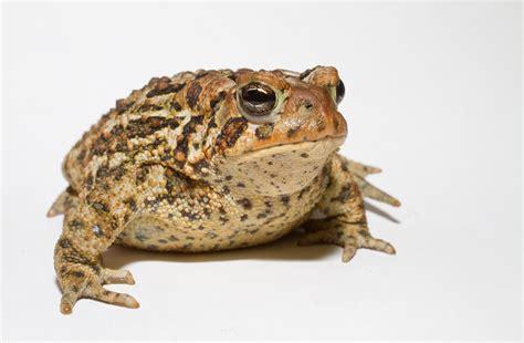 file anaxyrus americanus american toad jpg