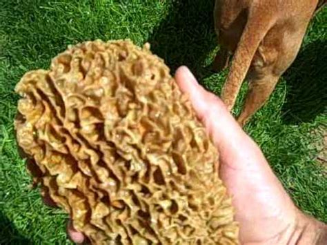 large morel mushroom youtube