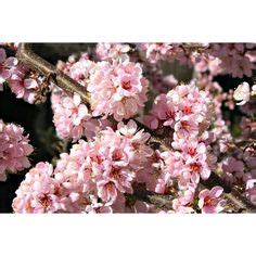 bunnings cherry blossom weeping apricot prunus mume pendula prianti s pretty plant pictures