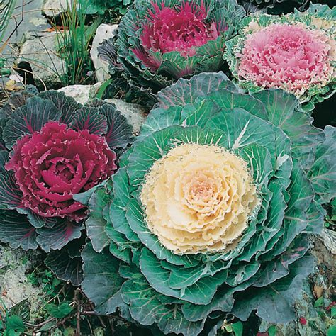 ornamental cabbage indoors ornamental cabbage seeds from d t brown seeds
