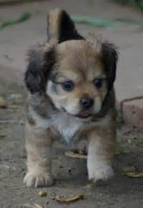 Contract Builder libby s cava bear puppies spring 2011 litter all sold