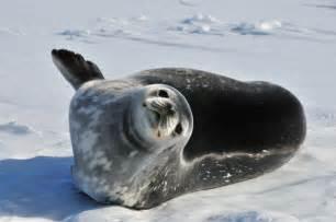 Antarctica s weddell seals kqed s pressroom
