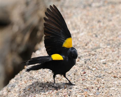 file yellow shouldered blackbird 8 mike morel jpg