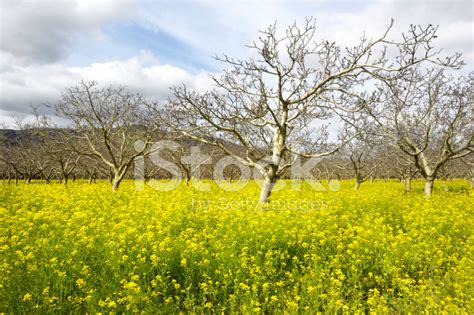 fields for growing fruit trees bare branched fruit trees and field mustard stock photos