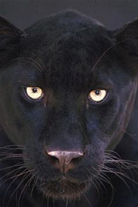 Kaos Black Panther 2 F 024 absolutely beautiful would want one as a pet if it was a