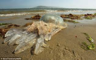 News Roundup Bushfires Jellyfish And Gorillas Attack by Uk Waters Hit By Tide Of Jellyfish Daily Mail