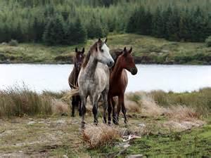 Pony Wall Stickers quot connemara ponies in the wild in connemara ireland quot by