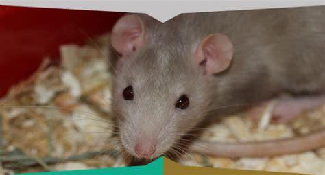 come eliminare i ratti dal giardino come tenere lontano i topi da casaiside disinfestazioni