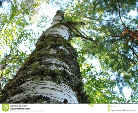 up tree bole of a birch tree up stock image image 177633