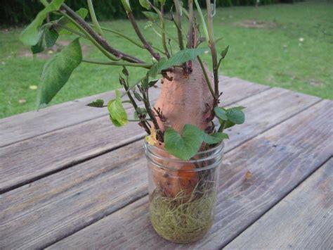 sweet potato vine always fun to do gardening