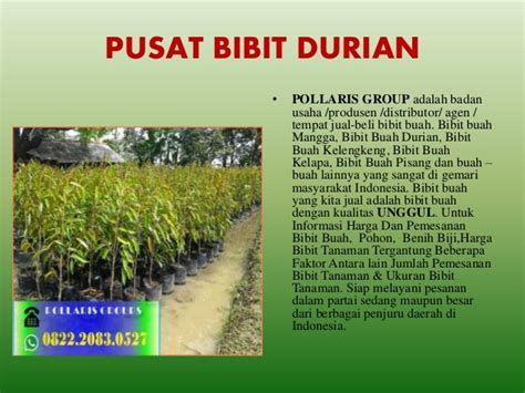 Bibit Durian Bawor Jawa Timur bibit durian bawor kaki 4 bibit durian bawor bogor bibit
