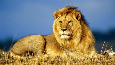 imagenes de leones lindas imagenes lindas para compartir fb imagenes de leones con