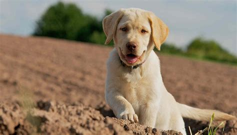 free puppy classes free puppy guide dogs our friends photo