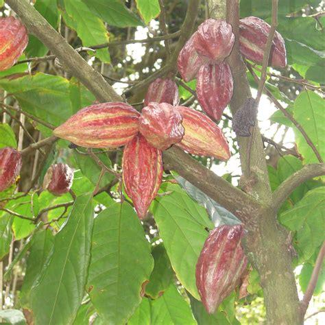 cocoa tree fruit polynesian produce stand chocolate tree fruit of gods
