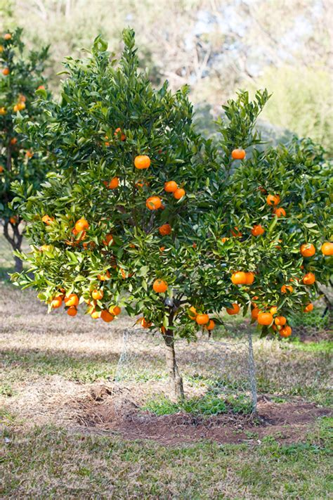 new year oranges with leaves best backyard citrus care burke s backyard