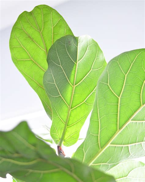 how to keep a fiddle leaf fig alive and happy fiddle houseplant week fiddle leaf fig real life on purpose