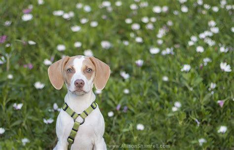 beagle puppies san diego the beagle bulldog puppy in presidio park san diego san diego pet photographer