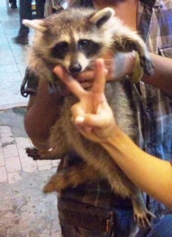 Sale Makanan Kucing Whiskas Kering 450gr raccoon rakun for sale adoption from selangor ang jaya adpost classifieds gt malaysia