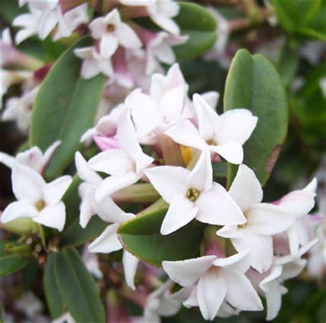 Fragrant Garden Plants - pottertons nursery daphne retusa