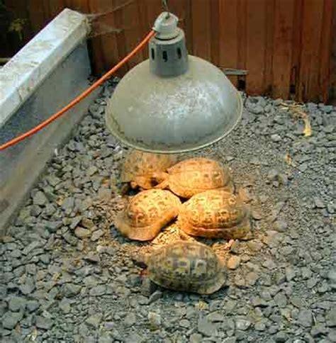tortoises hibernation versus wintering welcome to