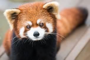 Home Decor Cincinnati Video Red Pandas Having Fun In The Snow So Cute