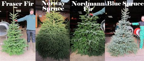 oakberry christmas tree varieties