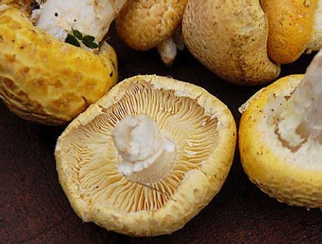 ser sha the golden mushroom   mushroaming daniel
