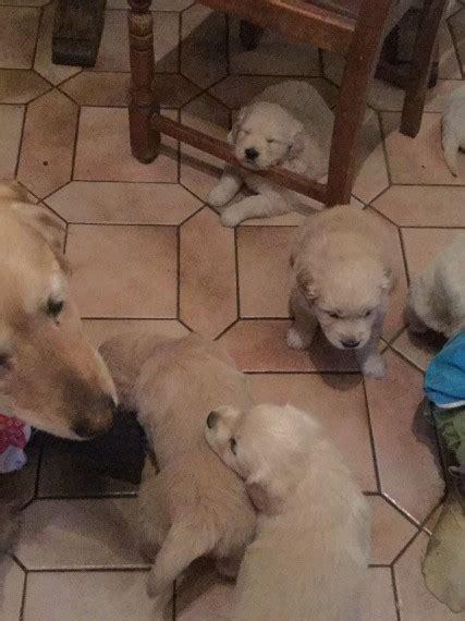 golden retriever puppies derbyshire lovely golden retriever puppies golden retriever for sale derbyshire mypetzilla