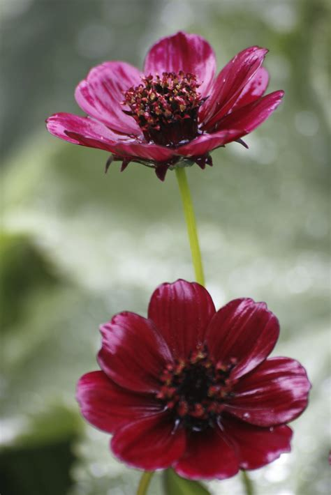 chocolate cosmos chocolate cosmos info tips for planting chocolate cosmos