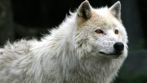 imagenes lobo blanco fondo imagen lobo blanco