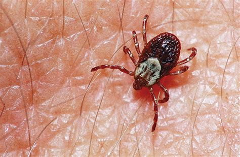 american tick diseases ticks lyme disease never went away pest management professional