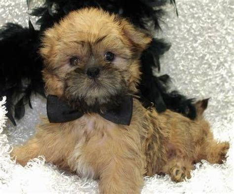 brussels shih tzu mix shiffon puppies brussels griffon shih tzu mix puppy puppys shih tzu