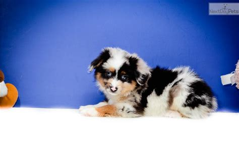 australian shepherd puppies columbus ohio australian shepherd puppy for sale near columbus ohio b42f3ea2 9941