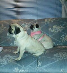 dog peeing on couch and bed pug dog peeing inside the house