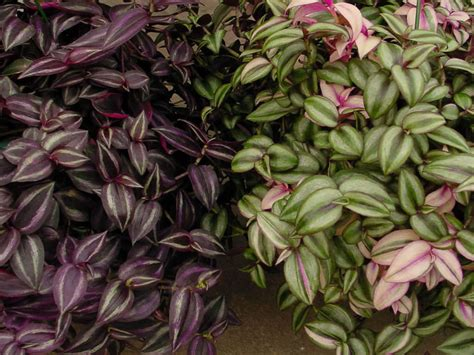 Plants That Do Well Indoors how to grow and care for tradescantia world of succulents