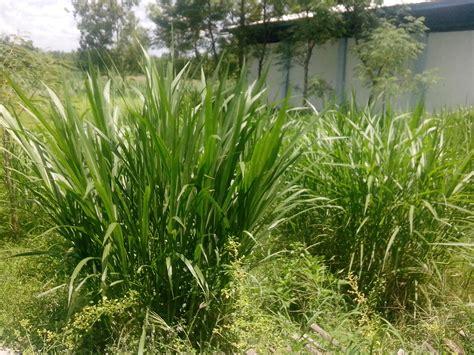 Bibit Rumput Gajah Yang Baik king grass rumput raja sekilas peternakan
