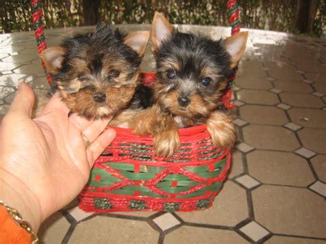perro yorkie precio perros pomerania en venta related keywords perros pomerania en venta