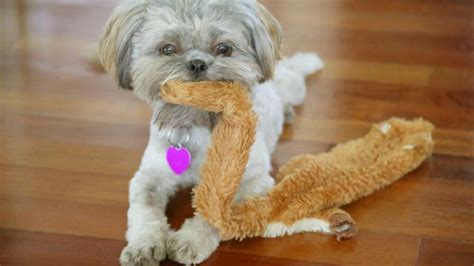 how much do you feed a shih tzu puppy how much food should a shih tzu eat reference
