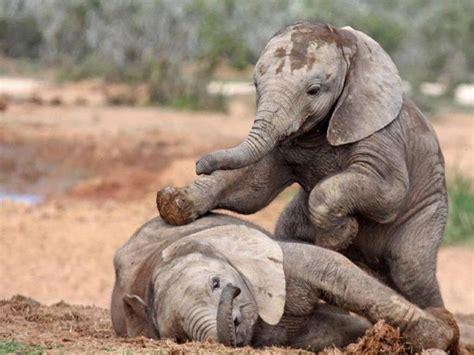 cute baby elephants   fun